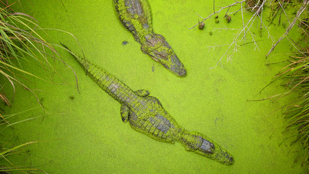 Two adult alligators swimming in green swamp in Moss Point, Mississippi