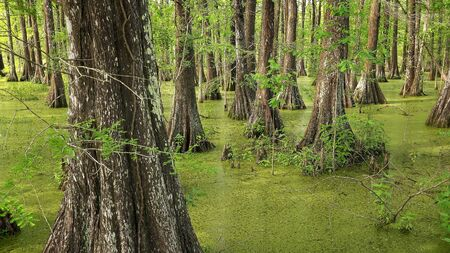Bald Cypress Trees in southern Louisiana swamp at Cypress Island Preserve Reklamní fotografie - 85763549