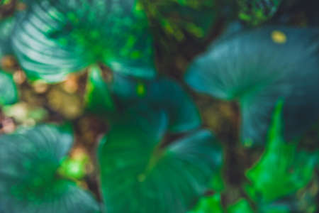 Blur of Close up tropical nature green leaf caladium texture background. Tropical forest and travel adventure concept. Vintage tone filter color style. Stock Photo