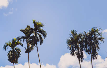 Outstanding palm tree in summer with clear sky.