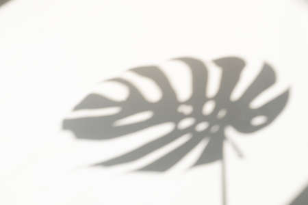 Monstera leaf shadow overlay on white wall background. Shadow of tropical leaves on the white wall. Big tropical plants, vines monstera.
