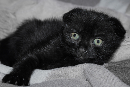 cute  black scottish-fold kitty is sick and afraid.young sad black cat lies on a gray woolen blanket