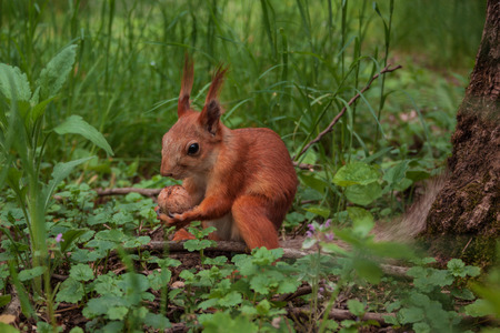 flurry squirrel holds in its paws a big walnut sitting on green grass in the forest