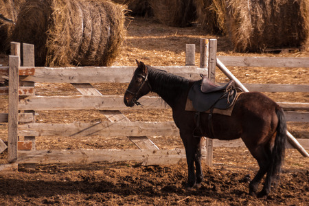 a dark brown horse in harness stands near a paddock with harvested haystacks. rural farming life. horse on a farm