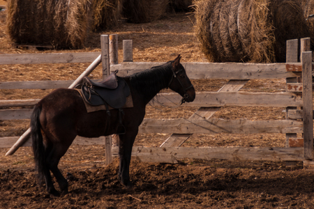 a dark brown horse in harness stands near a paddock with harvested haystacks