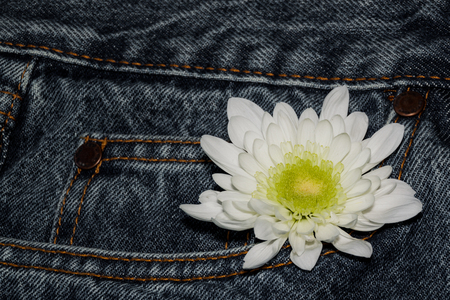 white gerbera flower in the pocket of rough jeans. Beautiful flower on denim texture background. blank design in the style of hippie, boho, bohemia for cards, invitations, flyers. free space for your text Фото со стока
