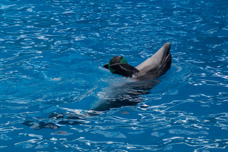 Trained dolphin in the aquarium, dolphinariums. show with dolphins. dolphin playing with a ball in the pool Фото со стока
