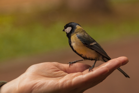 tit sits on the open palm of a woman. tit eats sunflower seeds from human hand. people feed the birds. Paridae Banco de Imagens