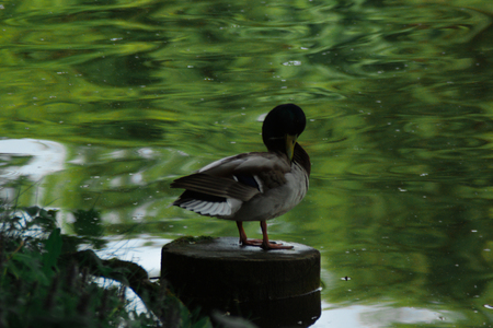 brown beige drake sitting on the log near the rural pond with green water, duck reflected on the water surface