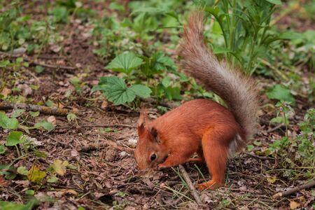 orange fluffy squirrel in the forest looking for nutsю  Sciurus, Tamiasciurus, Pine squirrels