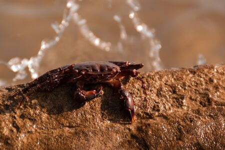 the crab sits on top of a large yellow stone by the sea. sunset orange light. close-up. biology, carcinology
