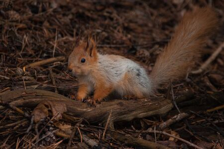 orange fluffy squirrel in the forest sitting on the dry branch Фото со стока - 130797112