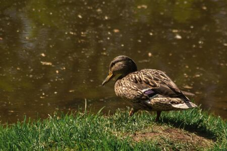 brown beige duck sitting on the green spring grass at the river side. close up