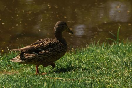 brown beige duck sitting on the green spring grass with dandelions. close up