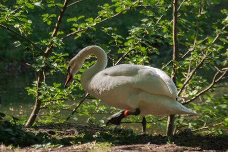 White swan near the rural pond surrounded by green trees and grass