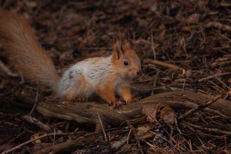 orange fluffy squirrel in the forest sitting on the dry branch.  Sciurus, Tamiasciurus