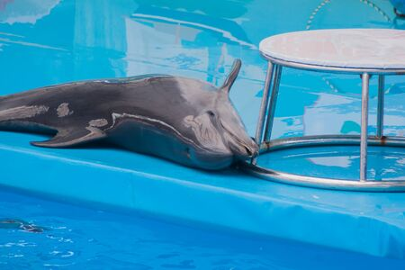 Cute sad trained dolphin performs in dolphinarium, aquarium. wild animals in poor conditions. animal cruelty, abuse, wildlife conservation, greenpeace, animal welfare
