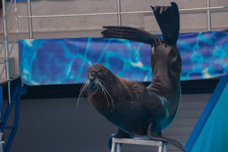 cute fluffy pinniped seal performs at a show in a dolphinarium, an aquarium. Trained Fur seal plays with a ball, a seal shows tricks on a show of sea animals
