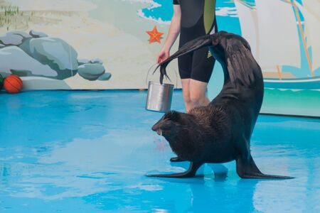 performance of a trained seal in a dolphinarium. a young male trainer interacts with a seal, fur seal, pinnipeds. show with sea animals in the aquarium.