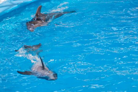 Cute gray dolphins swim in blue water. copy space, place for your text. bottlenose dolphins, wild marine mammals. blank for advertising swimming with dolphins, dolphinarium, shows, aquarium, Фото со стока