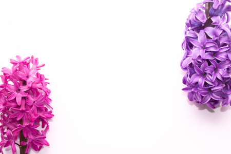 inflorescence of pink purple hyacinth flower isolated on white background banner. gentle spring summer design, copy space for your text