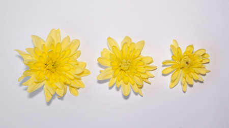 three bright yellow gerbera flowers of different sizes from large to small isolated on white. minimalistic delicate blank design horizontal banner format