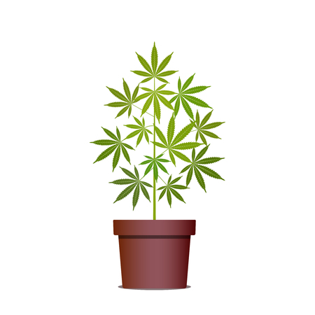 Marijuana or cannabis plant in pot. Herbs in a pot. Growing cannabis. Drug consumption, marijuana use. Isolated vector illustration on white background. 矢量图像