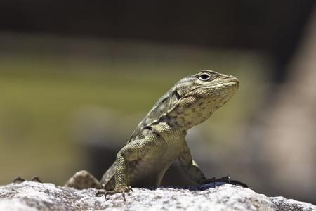 warms: A small lizard warms himself in the sun