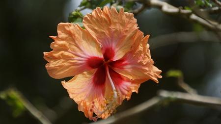 Peach Orange Hibiscus Flower in the garden of Kuala Lumpur