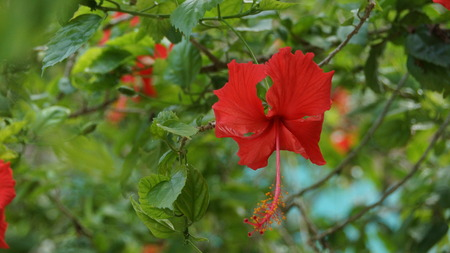 Red Hibiscus Flower in the garden of Kuala Lumpur