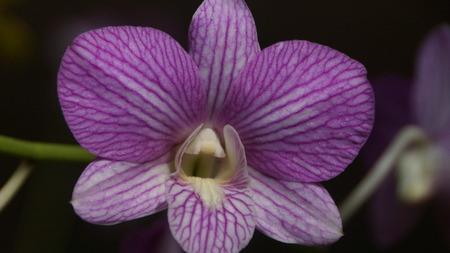 Purple orchid flower in the garden of Kuala Lumpur