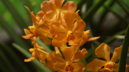 Yellow Orchid flower in the garden of Kuala Lumpur