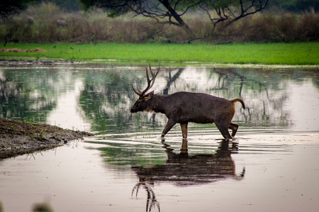 Indian Nature Reserve Deer near Agra. Very much one of the main tourist attractions and points of interest in the area. Foto de archivo