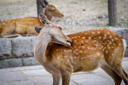 Deers of Nara wandering free Japan. Very much one of the main tourist attractions and points of interest in the area.