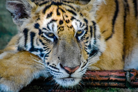 South East Asia Tiger Close Up. Very much one of the main tourist attractions and points of interest in the area. Stock Photo