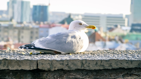 Seagull close up sat still on wall with city view behind. Shot in Tallinn Estonia eastern europe.