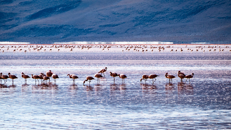 Amazing Bolivia Pink Lagoon and Wildlife Scene. Very much one of the main tourist attractions and points of interest in the area.
