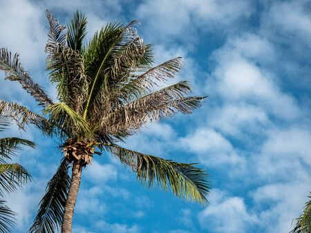 Pattaya, Thailand - August 1, 2019: Tropical palm tree leaves with bright blue and cloudy sky behind.
