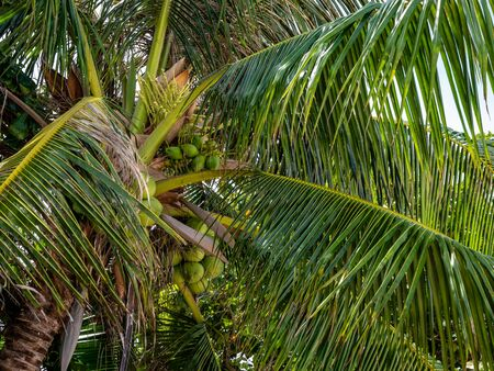 View of Coconut tree showing many cocnuts still attached with vibrant colours at Holiday destination