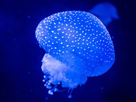 Lisbon Portugal Harmful Jelly Fish in the ocean Shot underwater Beauty of the ocean Sea Creature September 13, 2019, Extreme Close Up of Dangerous Jellyfish swimming in the ocean sea Standard-Bild - 139859999