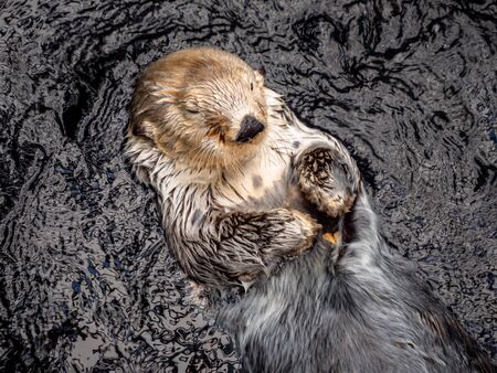 Lisbon Portugal Otters Swimming in the sea Close up shot Wild Animal Wildlife September 13, 2019, Close Up Clip of two Otters playing together, swimming and sharing food. Standard-Bild - 139857583