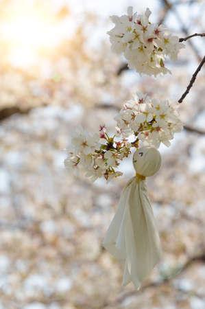 Cherry blossom at park