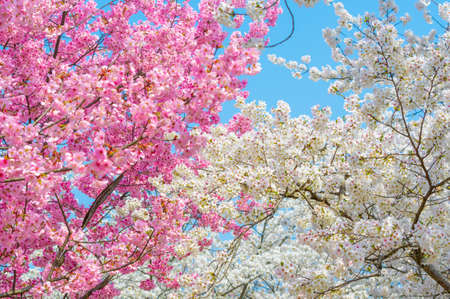 Early spring east lake cherry blossom at garden.