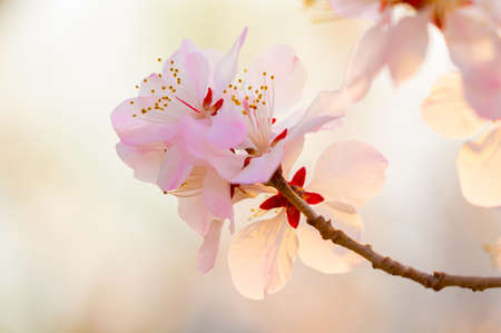 peach blossom bloom