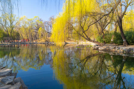 early spring weeping willow trees scenery
