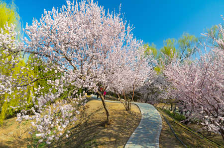 early spring peach blossom trees scenery