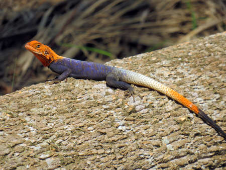 red headed agama lizard on a log