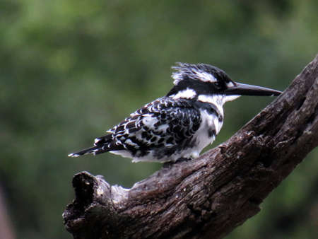 Pied Kingfisher perched on a branch Stock Photo