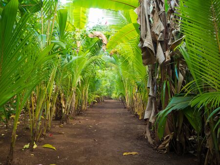 corn island: Walk palms path throught tropical island at sunset Stock Photo