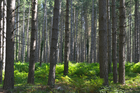 Pine forest conifer background composition with green fern leafs Stock Photo